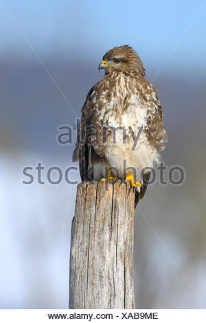 Common Buzzard (Buteo buteo) perched on a pole, biosphere reserve, Swabian Alb, Baden-Wuerttemberg - Stock Photo