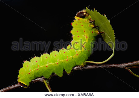Luna or Moon Moth Caterpillar Actias luna larvae feeding on birch leaves bright green - Stock Photo