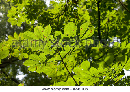 Branch of a Horse-chestnut (Aesculus hippocastanum) showing the characteristic palmately divided leaves in front light. - Stock Photo