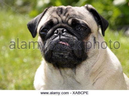 pug in the open - Stock Photo