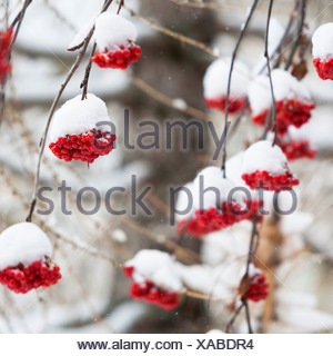 Snow covered red berries - Stock Photo