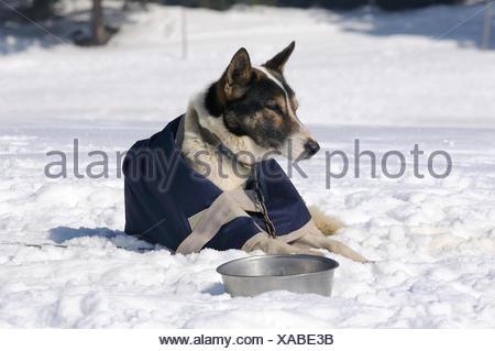 Siberian Husky in the snow - Stock Photo