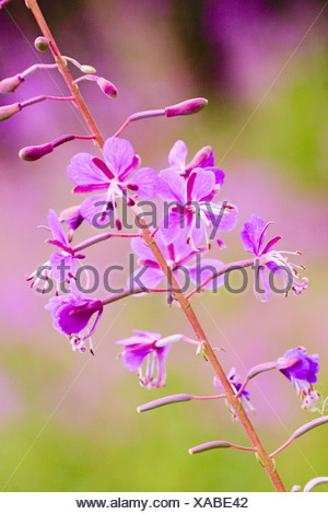 fireweed, blooming sally, rosebay willow-herb, great willow-herb (Epilobium angustifolium, Chamaenerion angustifolium), bloomin - Stock Photo