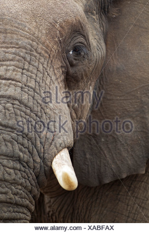 African Elephant (Loxodonta africana), close-up of a bull, Kruger National Park, South Africa - Stock Photo