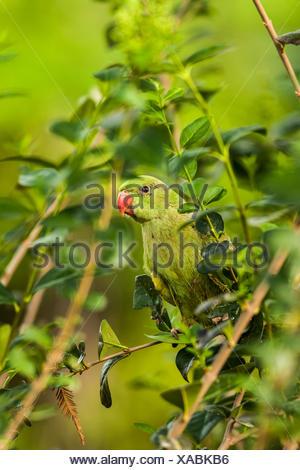 Israel, female Rose-ringed Parakeet (Psittacula krameri), AKA the Ringnecked Parakeet in a tree. - Stock Photo