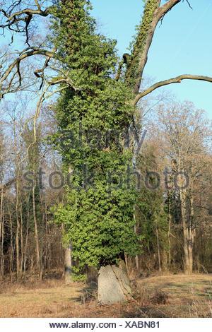Gemeiner Efeu, Gewoehnlicher Efeu (Hedera helix), Eichenstamm mit Efeu im Winter, Deutschland | English ivy, common ivy (Hedera  - Stock Photo
