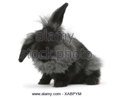 Black smoke fluffy Lionhead x Lop rabbit moulting. - Stock Photo