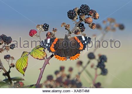 Red Admiral Vanessa atalanta on blackberries in autumn Norfolk - Stock Photo