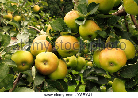 Apple 'Bramley's Seedling', syn. 'Bramley', malus domestica apples variety varieties growing on tree - Stock Photo