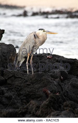 Great blue heron (Ardea herodias) standing on rocks at Dragon Hill, Santa Cruz Island. - Stock Photo