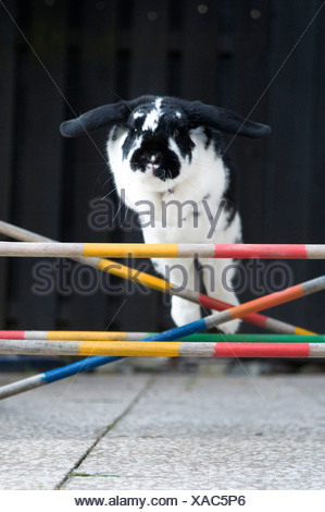 Close-up of a rabbit jumping over obstacles - Stock Photo