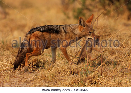 black-backed jackal (Canis mesomelas), mother animal taking a juvenile into the mouth in order to carry it, Botswana, Chobe National Park - Stock Photo