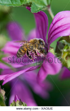 common mallow, blue mallow, high mallow, high cheeseweed (Malva sylvestris), flower with bumble bee with pollen, Germany - Stock Photo