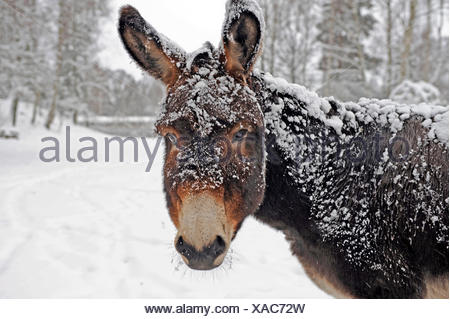 A brown donkey commited with snow on wintry pasture - Stock Photo