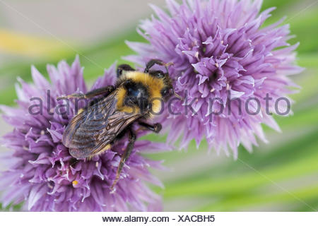 Cuckoo Bumble Bee, Bombus insularis, on chive flowers, Warman, Saskatchewan, Canada - Stock Photo
