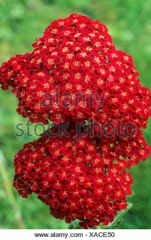 Achillea 'Faust' red flower garden plant achilleas - Stock Photo