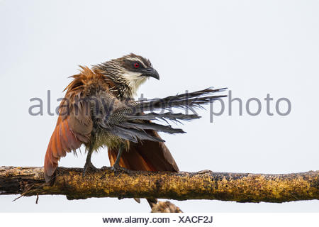 White-browed coucal, Centropus superciliosus, drying its wing. - Stock Photo