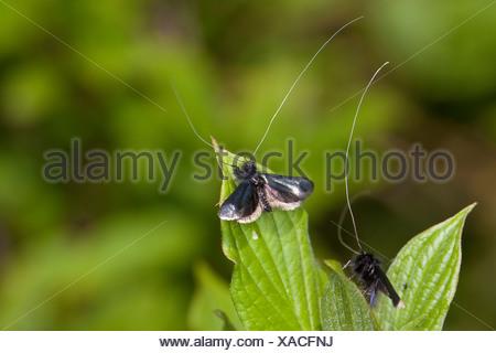 Green Longhorn, Green Long-horn (Adela reaumurella, Phalaena reaumurella, Phalaena viridella, Adela viridella), males on leaves, Germany - Stock Photo