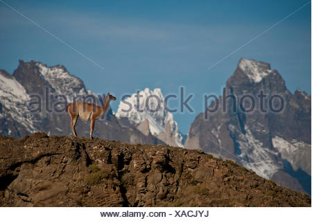 A guanaco, Lama guanicoe, stands on a ridge on the Aonikenk Trail. - Stock Photo