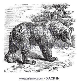 Cinnamon Bear Ursus occidentalis, vintage engraved illustration Trousset encyclopedia 1886 - 1891 - Stock Photo