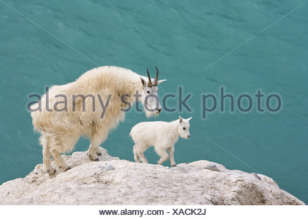 Mountain goat (Oreamnos americanus), nanny and kid, overlooking the Athabasca River, Jasper National Park, Alberta, Canada. - Stock Photo