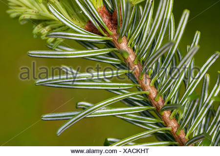 Nordmann Fir, Caucasian Fir, Christmas Tree (Abies nordmanniana), lower side of a branch - Stock Photo
