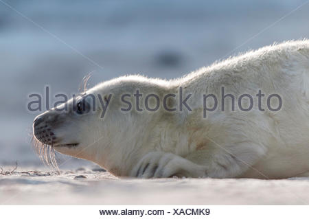 Grey seal, pup, (Halichoerus grypus), portrait, Heligoland, Schleswig-Holstein, Germany - Stock Photo