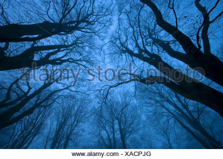 Tree canopy in winter, Felbrigg Woods, Norfolk, UK - Stock Photo