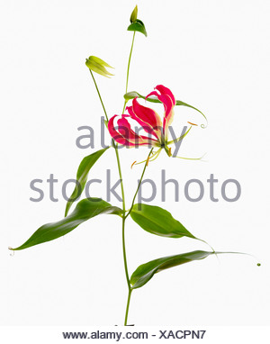 Red flower of Tiger Claw Gloriosa lily, Gloriosa superba 'Rothschildiana', against white background. - Stock Photo