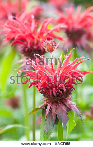 Monarda 'Gardenview Scarlet', Bergamot, Monarda, Red subject. - Stock Photo