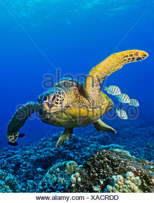 Green sea turtle (Chelonia mydas) endangered species, with cleaner fish - Stock Photo