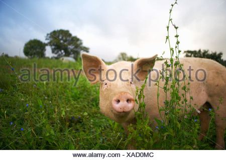 Pig walking in tall grass - Stock Photo