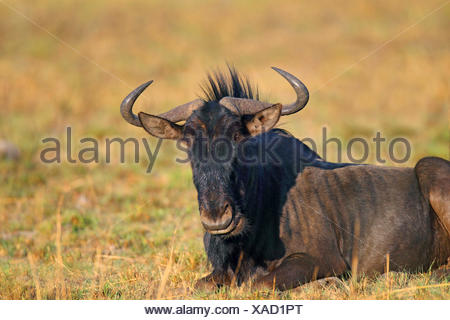 blue wildebeest, brindled gnu, white-bearded wildebeest (Connochaetes taurinus), lying, South Africa, North West Province, Pilanesberg National Park