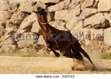 galloping PRE - Stock Photo