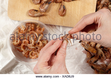 Germany, person shelling North sea  prawns (Crangon crangon), elevated view - Stock Photo