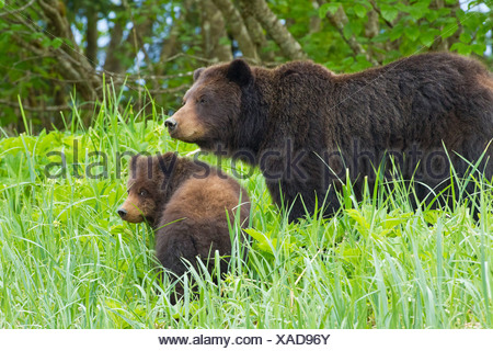 A Brown bear sow and cub forage on sedge and beach grass at the edge of an estuary on Admiralty Island, Alaska - Stock Photo