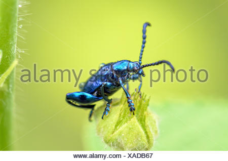 Chrysolina coerulans beetle - Stock Photo