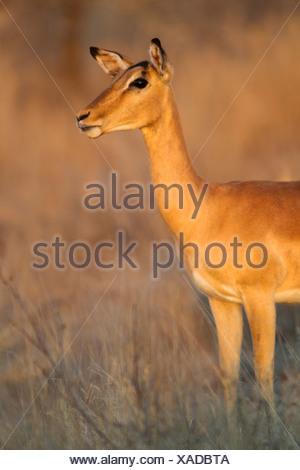 Impala (Aepyceros melampus), female in the morning light, Kruger National Park, South Africa - Stock Photo