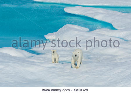 A polar bear (Ursus maritimus) and its cub wander the ice floes in the Canadian Arctic. - Stock Photo