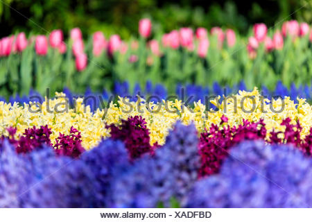 Multicolored flowers in bloom at the Keukenhof Botanical garden Lisse South Holland The Netherlands Europe - Stock Photo