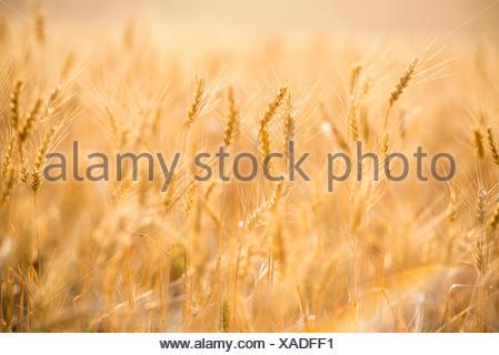 Close up of wheat at sunrise. The Palouse, Washington State, USA. - Stock Photo