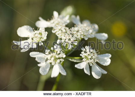 orlaya grandiflora - Stock Photo