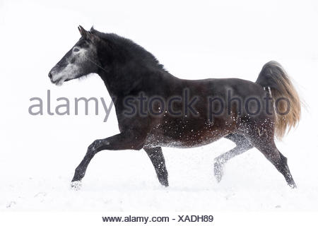 Pure Spanish Horse, Andalusian. Gray mare trotting on a snowy pasture. Germany - Stock Photo