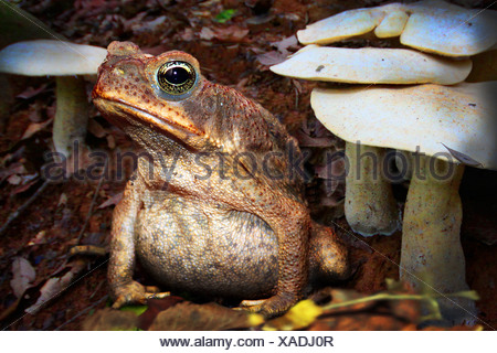 Giant toad, Marine toad, Cane toad, South American Neotropical toad (Bufo marinus, Rhinella marina), sitting on forest ground among mushrooms, Costa Rica - Stock Photo