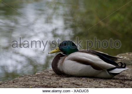 Side View Of Mallard Duck On Rock At Lakeshore - Stock Photo