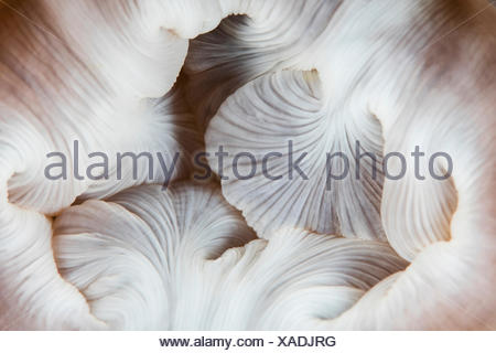 Mouth of Magnificent Anemone, Heteractis magnifica, Raja Ampat, West Papua, Indonesia - Stock Photo