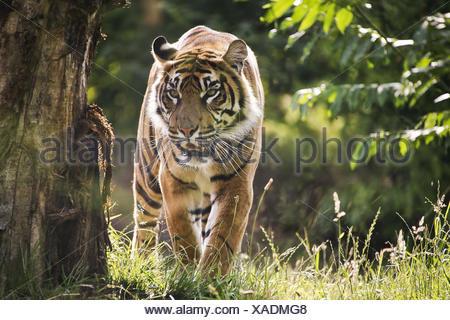 Sumatran Tiger, panthera tigris sumatrae - Stock Photo