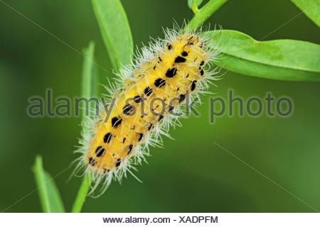 variable burnet (Zygaena ephialtes), caterpillar, Germany - Stock Photo