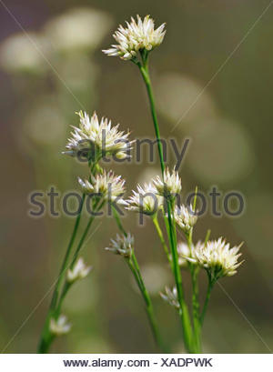 white beak-sedge (Rhynchospora alba), inflorescences, Germany, Bavaria, Oberbayern, Upper Bavaria - Stock Photo