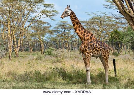 Rothschild's giraffe (Giraffa camelopardalis camelopardis) in bushland, Lake Nakuru National Park, Kenya - Stock Photo